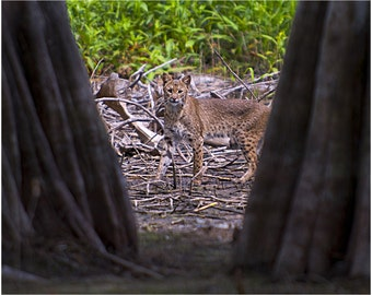 wildlife photography,bobcat photo,cat photo,cat photography,bobcat image,animal image,wild bobcat
