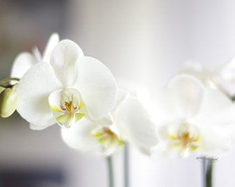 White orchids on a grey background; photography, floral nature, nature decor.