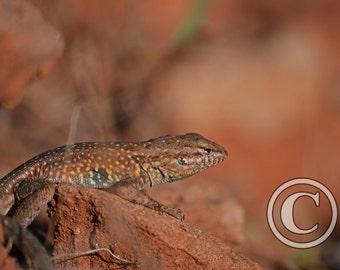 Nature Photography Lizard at Caprock Canyon, Tx Photo Print
