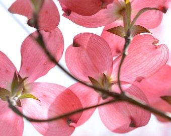 Pink Dogwood #2