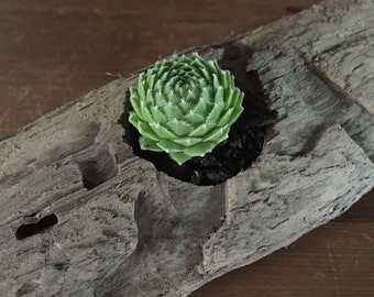 Driftwood Potted Succulent.  Potted Succulents.  Succulents.
