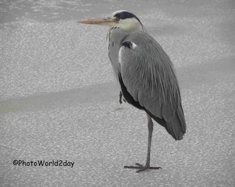 Grey heron, Blue heron, Heron in winter, heron au hiver, Reiher