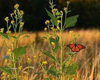 Monarch Butterfly on Wildflower Note Card