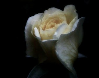 8x10 Delicate Rose