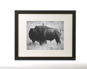 Wildlife Photograph - Montana Buffalo