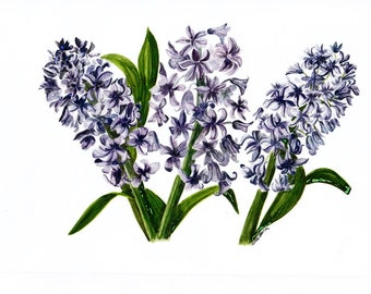 Hyacinth Bouquet, A4 Greetings Card, left blank for your own message
