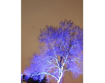 Lilac Tree Photo
