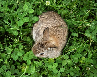 Brown Baby Bunny Rabbit in Clover Photograph Print