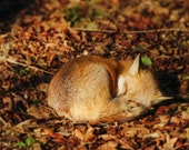 Sleeping Fox Photo - Fine Art Photography -Nap Time - Wall Art - Animal - Relax - Nature