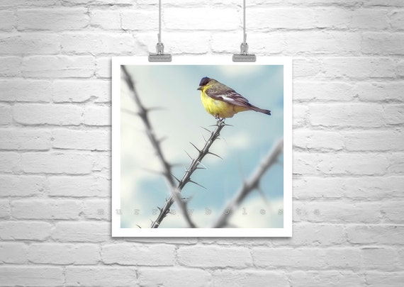 Bird Photography, Bird Art, Square Art Print, Yellow Birds, Tucson, Arizona, Desert, Ocotillo, Pastel, Wildlife, Fine Art Photograph