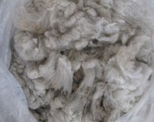 Raw Coated  oatmeal Cheviot-Merino Fleece, super soft wool with crimp - Fresh from the flock