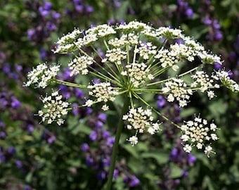 Organic Winter Chervil Heirloom Herb Seeds