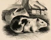 Antique Print of the Guinea Pig - 1840s-1850s Vintage Print