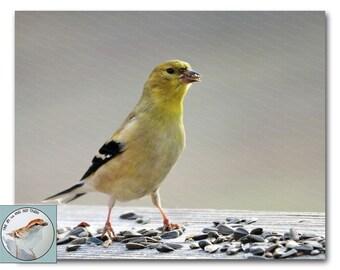 Goldfinch Photograph 8x10 Fine Art Photo Yellow Bird Winter Colors Songbird Nature Wildlife Art Gift for Bird Lover Under 30