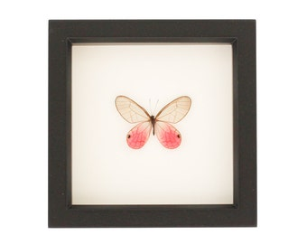 Real Framed Butterfly Display Pink Glasswing
