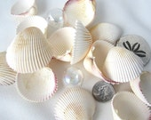 "Beach Nautical Common Cockle Shells - 1-2"" Cockle Seashells -  12PC"