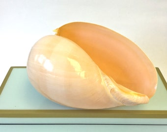 "Seashells - Large Polished Voluta Diadema Shell 5""-6""  beach decor/coastal decor"