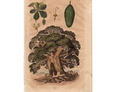 1835 BAOBAB TREE PRINT exotic nature print original antique hand colored engraving - bird botanical flower insect baobab tree