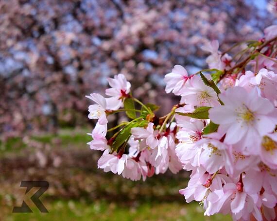 Sakura (Photography Print)