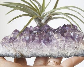 Airplant on Amethyst Geode Chunk, Large Crystal Garden, Desk Accessory, Dorm Decor, Indoor Garden, Substantial Piece