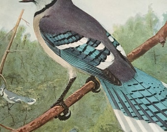 Circa 1915 book Plate 70 Blue Jay print image 7 x 11 approx. great image 101 years old. Would look great framed