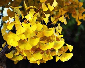 Fall Ginko Leaves 24 x 16,  art photography FastWinn Photography, yellow, gold green, vibrant oriental tree blue sky FastWinn Photography AZ