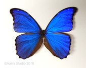 Real Butterfly Specimen Unmounted Ready Spread - Giant Blue Morpho #2
