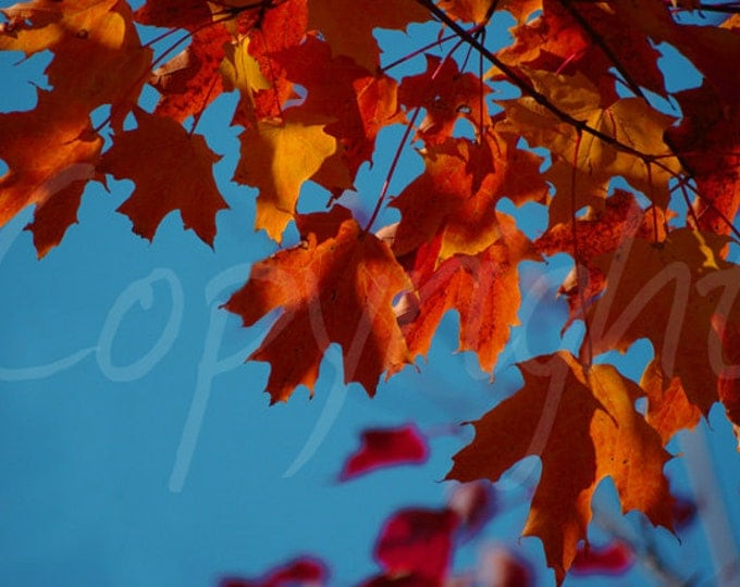 Print or Greeting Card, Fall Maple Leaves, Orange Maple Leaves,  Vibrant Autumn, East Coast, Gift Idea, Home Decor
