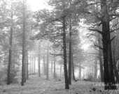Fog II  Ponderosa Pine Trees Woodland Forest Mountain High Desert New Mexico Southwest 4x6 or 5x7 mat framed prints or customized photo card