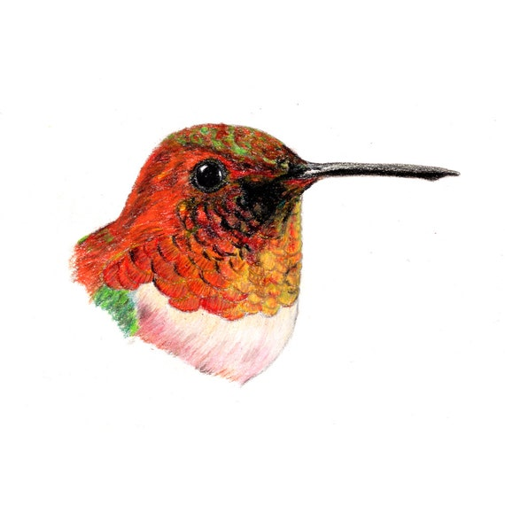 Rufous hummingbird drawing - photo#16