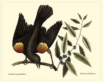RED-WINGED BLACKBIRD - Catesby Birds antique instant digital download reproduction