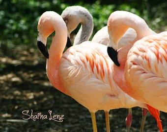 Flamingo Photo Foamboard Mounted Photograph Louisville zoo