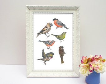 Collection of British finches illustrated drawing, birds, A4 unframed print