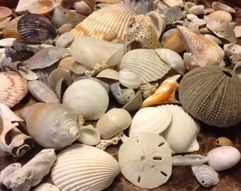 Gulf coast sea shells