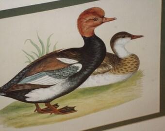 Framed Red Headed/Ducks/WOOD DUCKS/WATERFOWL/Pen Ink/Print/Wood Frame/Male Female Exotic Ducks