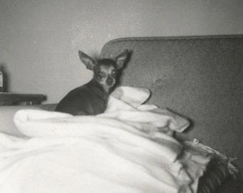 Chihuahua - Vintage Photo - Cute Little Dog - Puppy - Vintage Snapshot - Dog Photo - Collectibles