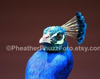 Peacock Crest Wildlife Photography Fine Art Nature Print, Bird Photo, Peacock Home Decor, Children Nursery Wall Art