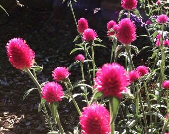 Gomphrena Carmine Globe Amaranth Gomphrena haageana Deep Rose Gomphrena Great For The Cutting Garden Perfect For Dried Flowers