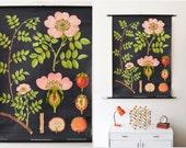 Botanical print rose, Vintage rose school pull down chart, botanical dog rose print, West German Jung Koch Quentell botany print