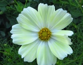 Cosmos Seeds - Yellow Annual