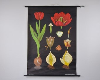 Authentic Mid Century Botany Print. Tulip (Tulipa gesneriana). Pull Down School Chart. Jung Koch Quentell. Germany. 1018
