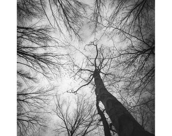 "Landscape Photography, Black and White Trees Photograph, woodland, forest, nature, gray, sky, branches, 8x10 - 24x30, ""Vertigo 3"""