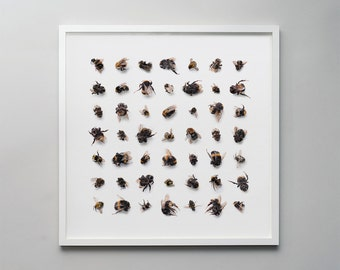 Dead bees - a photographic print montage of taxidermy bees