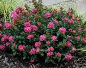 Pocomoke ( Dwarf ) Pink Crape Myrtle - Live Plant - Trade Gallon Pot