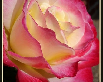 Yellow red white rose flower seeds,395,flower roses seeds, roses from seeds,planting roses,growing roses from seeds,seeds for roses