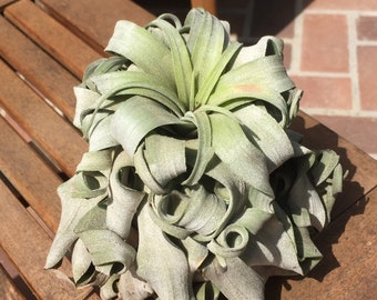 Large Tillandsia Streptophylla