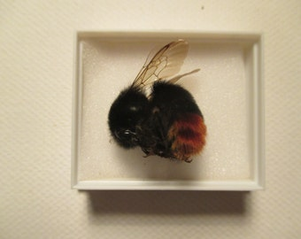 A preserved and mounted red tailed bumblebee.