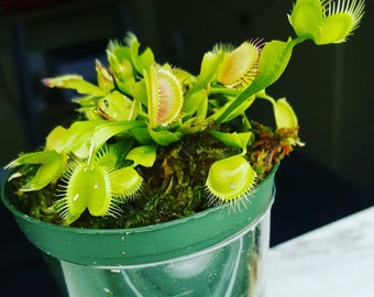 Potted Venus Flytrap with humidity dome