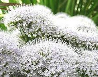 White Throatwort- 100 seeds
