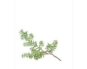 A2 Botanical Study Print — Rimu